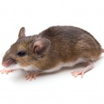 The white-footed mouse is the main reservoir for Lyme disease.